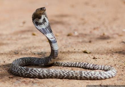 cobras8